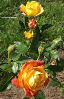 Judy Garland floribunda roses, Pardee Rose Garden - East Rock Park, New Haven, CT