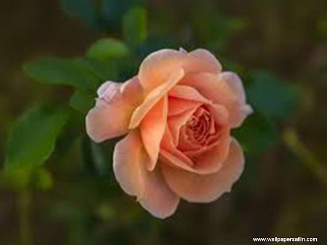 Rose Flower Wallpaper -5