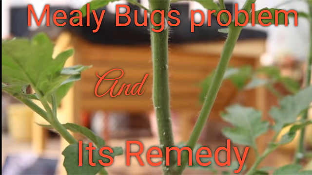 mealy bugs,mealy bug spray,mealybug problem,mealy bug insecticide,cure for mealy bugs,home solution for mealy bugs,mealy bugs indoor plants,home made solution,mealy bug solution,mealy bug insecticide spray,how to treat mealy bug,how to get rid of mealy bugs,mealy bug control,mealy bugs spray,controlling mealy bugs,mealy bugs spray diy,root mealy bugs,remedy for mealy bugs,home remedy for mealy bugs,jade plant with mealy bugs,mealy bugs treatment,how to treat mealy bugs