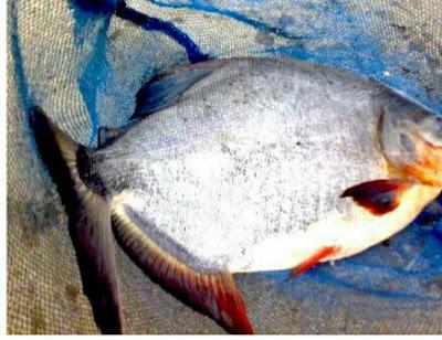 umpan Ikan Bawal gatalama Babon