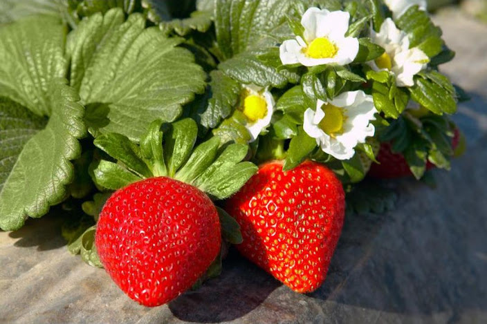Bibit Strawberry California berbuah Padang