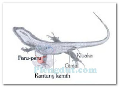 Paru-paru serta ginjal yang menjadi alat eksresi utama reptil
