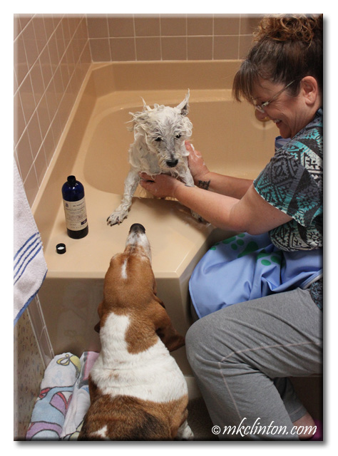 Basset checking on Westie in the bathtub