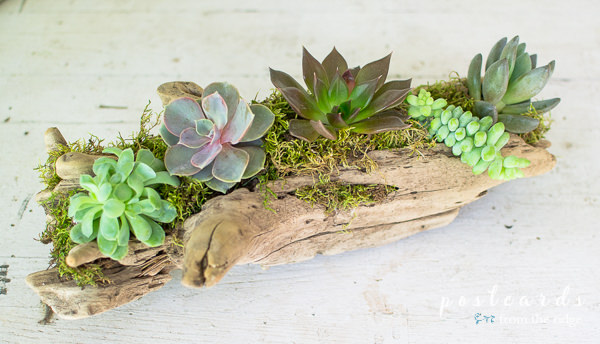 piece of driftwood used as planter for succulents