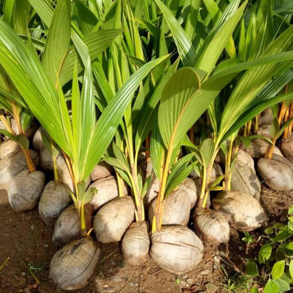 Bibit kelapa genjah entok unggul berkualitas dijamin berbuah 2 3thn Bandar Lampung