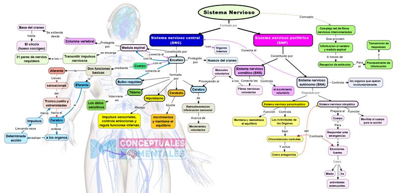 Mapa conceptual completo del sistema nervioso humano, con todas sus partes, funciones, relaciones y concepto.