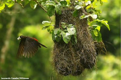 Guaxe, wikiaves, aves do brasil, birds, passaros, passarinhar, ornitologia, observação de aves, birdwatching, turismo, viajar, natureza