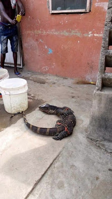 Photos Of Huge Monitor Lizard Killed By A Neighbours Today