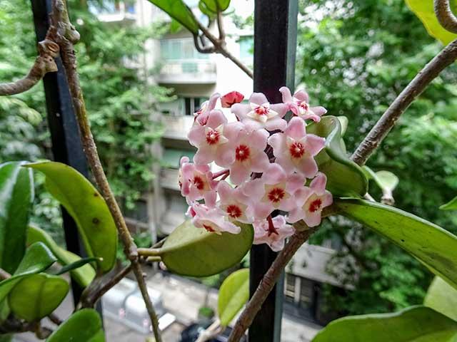 Planta de Clepia florecida