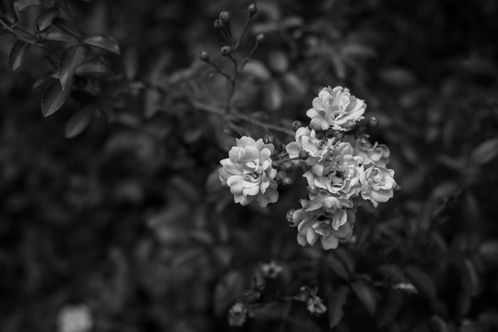 rose bud b&w photo