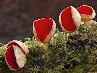 Jamur Ascomycota