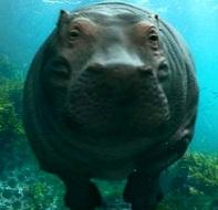 Foto de un hipopótamo nadando bajo el agua