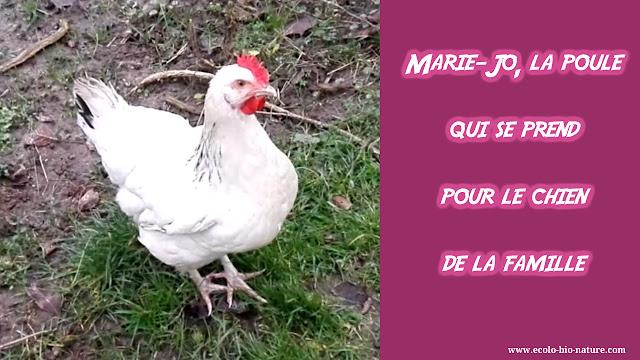 Marie-Jo, la poule qui se prend pour le chien de la famille ! (vidéo)
