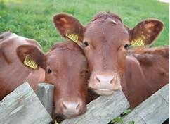 2 cattle electrocuted, ZESA faces lawsuit