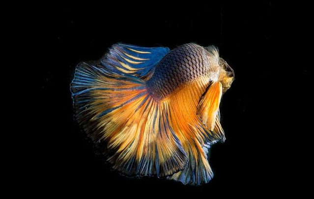 Gambar Ikan Cupang Slayer