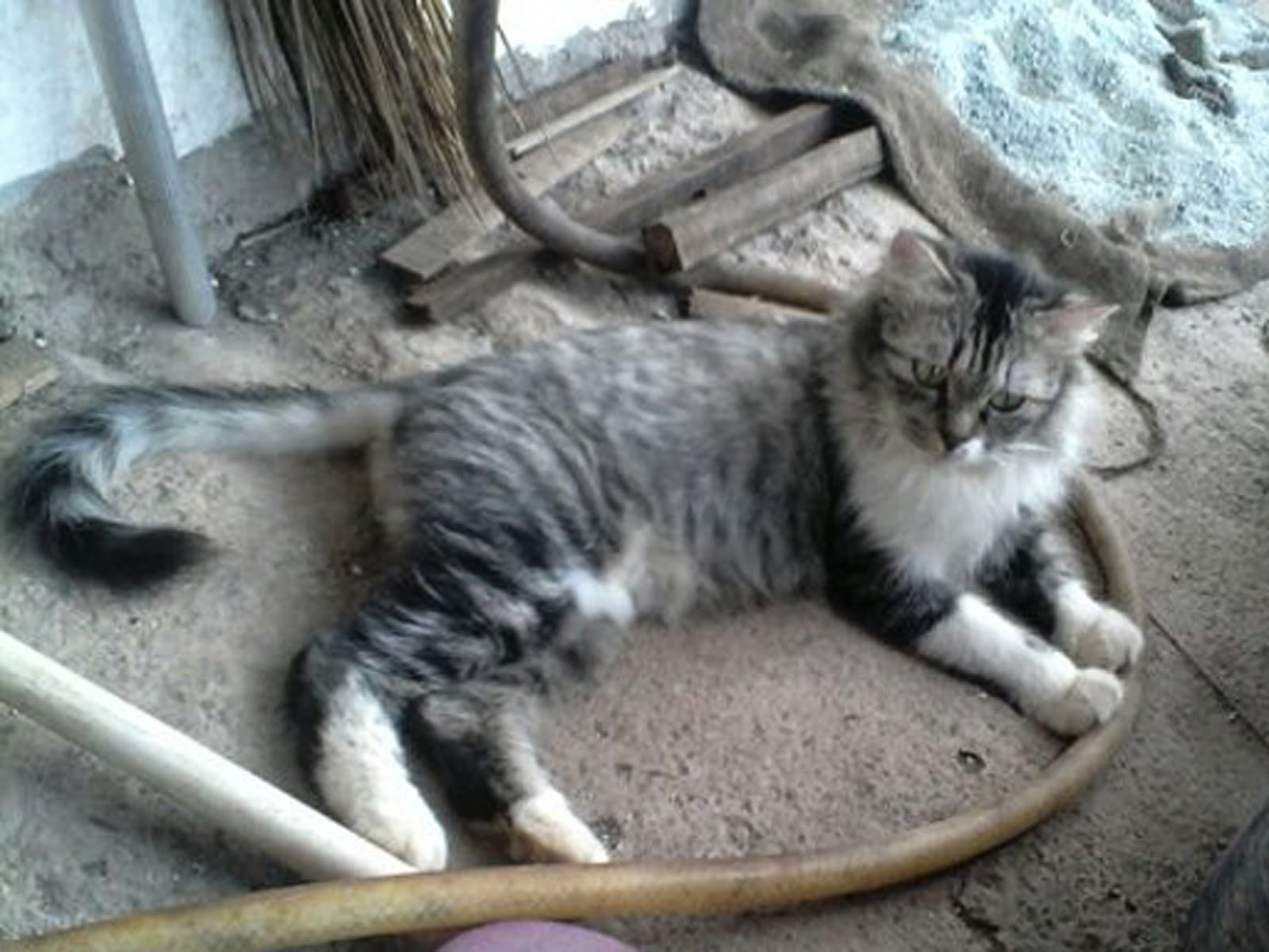 Kucing Persia Medium Abu Abu