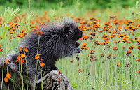 Photograph of a hedgehog in orange flowers