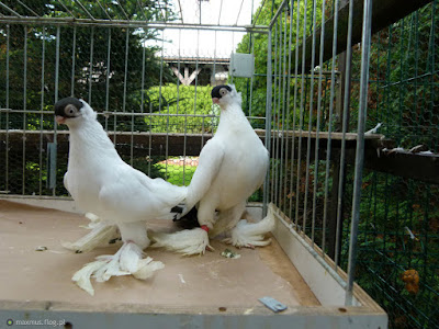 polish tumblers pigeons