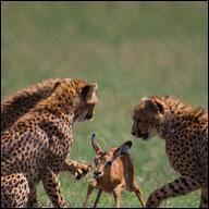 adaptaciones de animales depredadores
