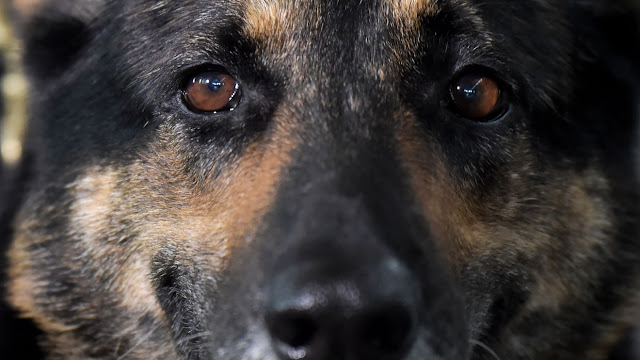 Second dog tests positive for coronavirus as owners warned not to abandon pets