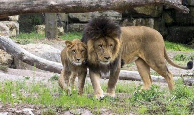Ισπανία: 4 λιοντάρια σε ζωολογικό κήπο βρέθηκαν θετικά στον κορωνοϊό