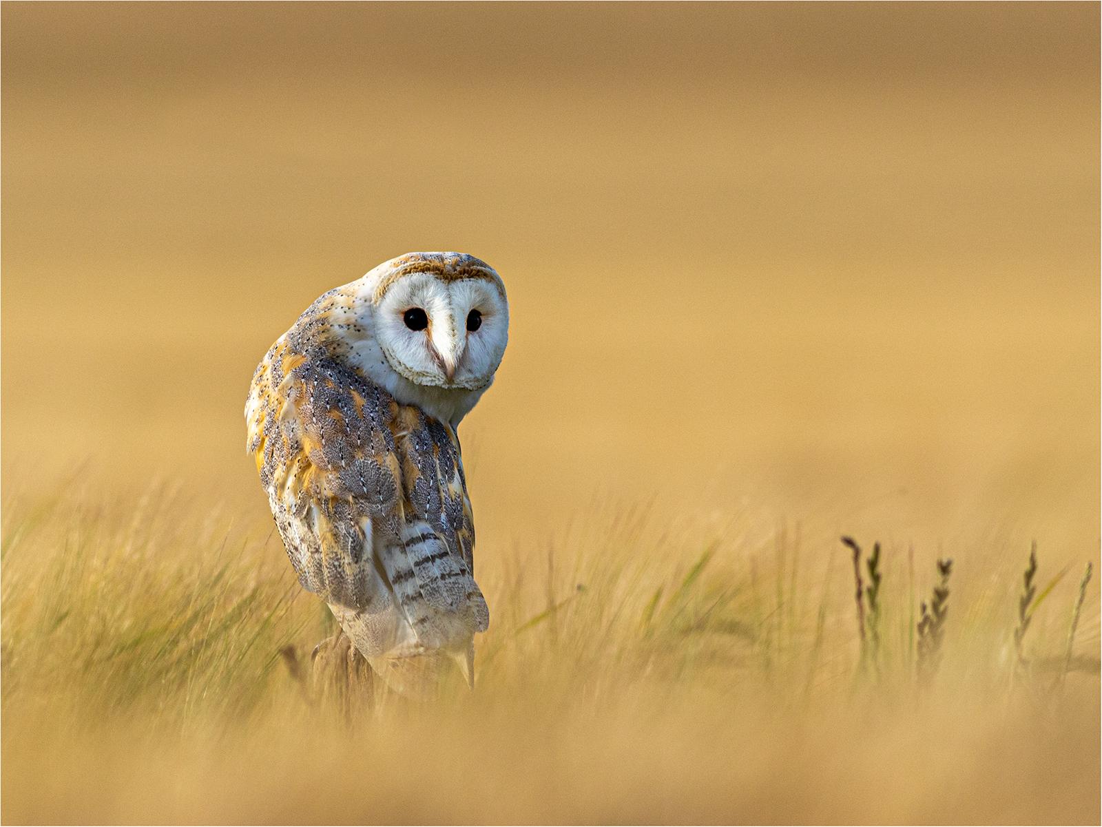 Barn_Owl%255B1%255D.jpg