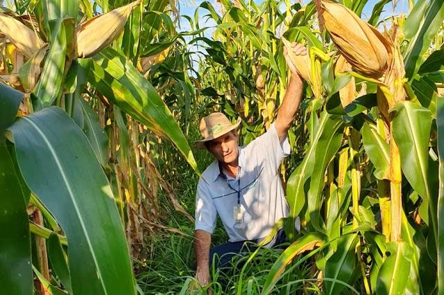 Consórcio com braquiária mantém produtividade do milho
