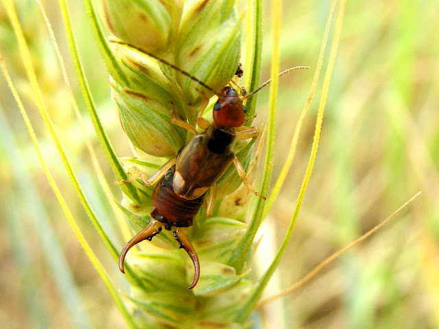 Common Earwig Forficula auricularia, Indre et Loire, France. Photo by Loire Valley Time Travel.