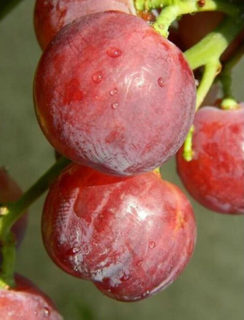 Bibit tanaman anggur merah super manis cocok untuk halaman rumah Tanjungpinang