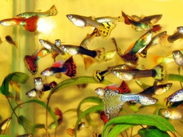 Dunia Ikan Hias - Ikan Guppy