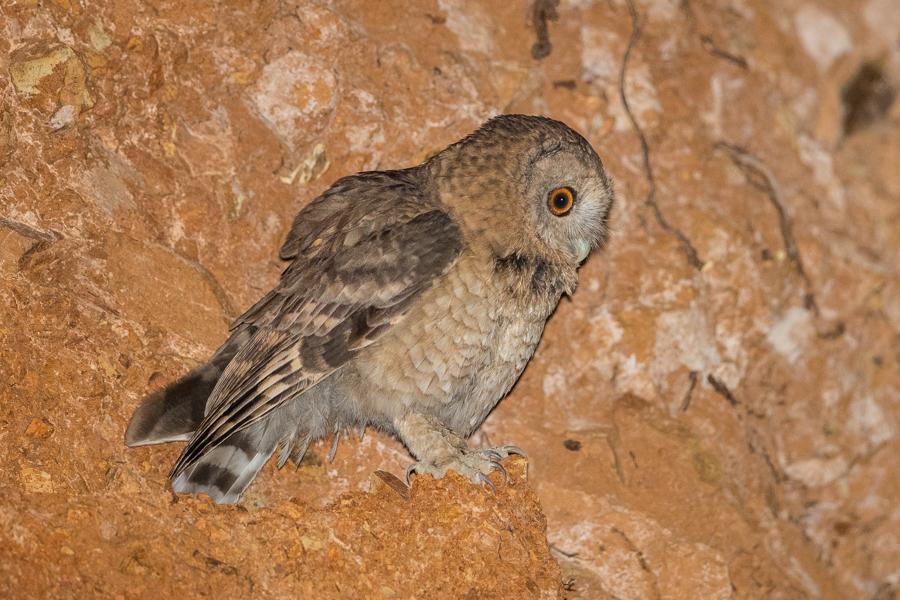 Desert Owl