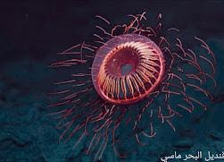 أغرب المخلوقات البحرية ، قنديل البحر ماسي ، قنديل البحر المضئ