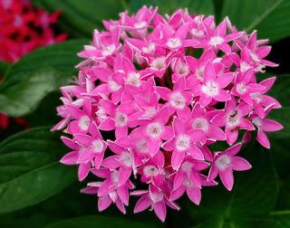 https://commons.wikimedia.org/wiki/File:Pentas_lanceolata_%27Butterfly_Deep_Pink%27.jpg