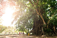Baler Balete Tree