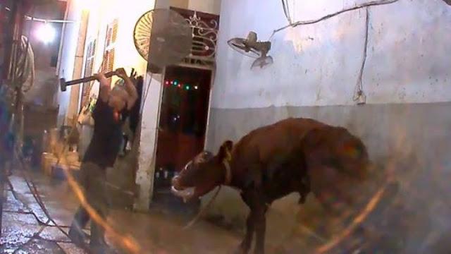 فيديو مروّع| هكذا تُذبح الأبقار في المسالخ الفيتنامية! لا ينصح بدخول اصحاب القلوب الضعيفة