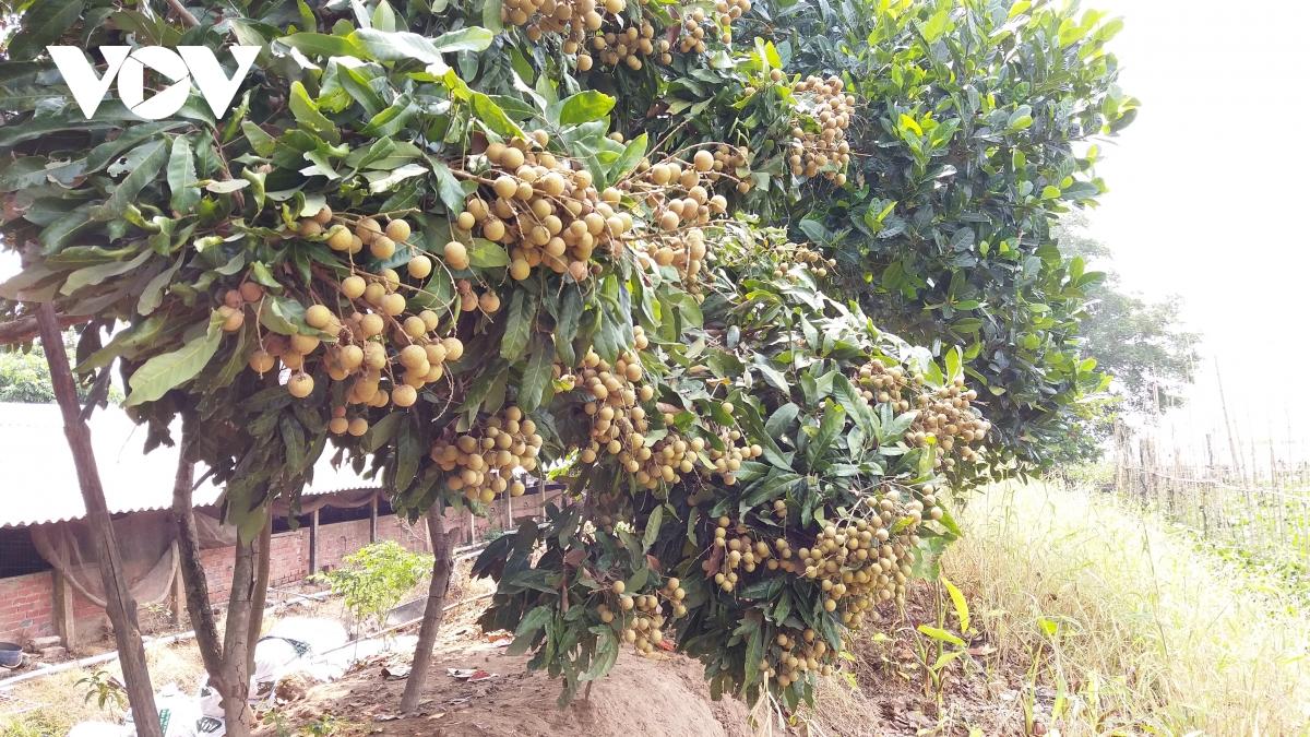 Vườn nhãn ở cồn Tam Hiệp, huyện Châu Thành, tỉnh Bến Tre chất lượng cao nhưng đang gặp khó khăn trong vấn đề tiêu thụ.