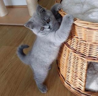 котёнок голубой масти и карзина