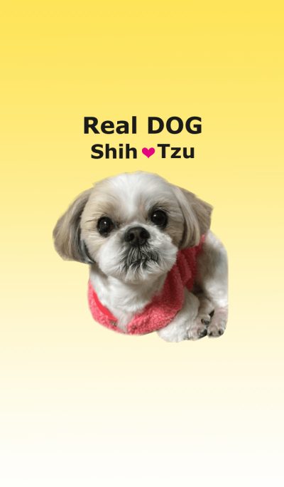 Real DOG Shih Tzu