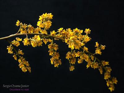 Orquídea Chuva de Ouro - Oncidium pumilum