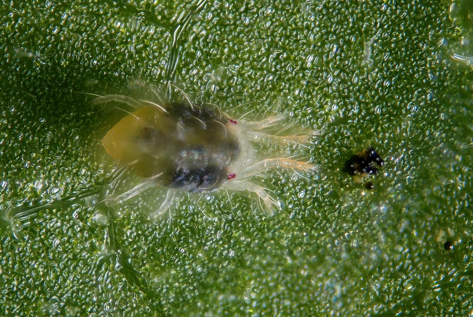 Red spider mites - photo#46