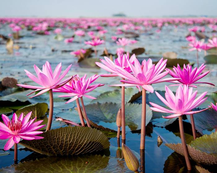Red Lotus Lake, Kumphawapi, Thailand