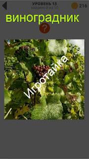 800 слов виноградник ответ на 13 уровень