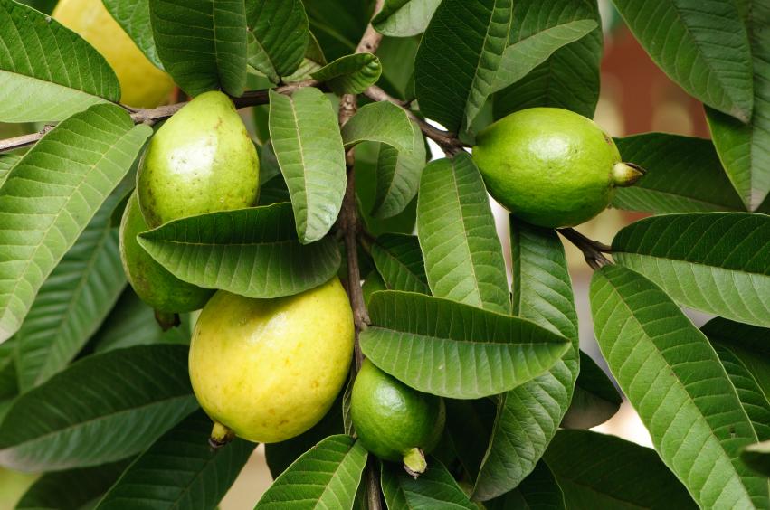 O chá da folha de goiaba ajuda a combater o câncer, reduz o diabetes e na perda de cabelo e muito mais