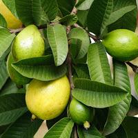 O chá da folha de goiaba ajuda a combater o câncer, reduz o diabetes e dores menstruais