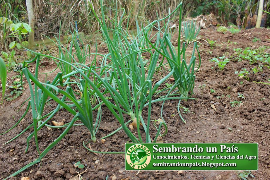 plantas de cebolla en desarrollo