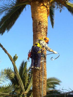 Poda de palmeras - Ruepra Jardinería Puzol