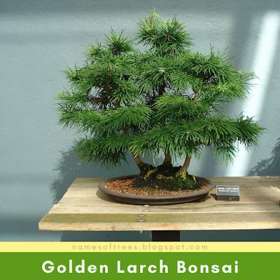 Golden Larch Bonsai