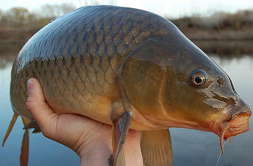 Takaran Essen Untuk Ikan Mas Yang Pas Dan Seimbang - Gatewayilmu.com