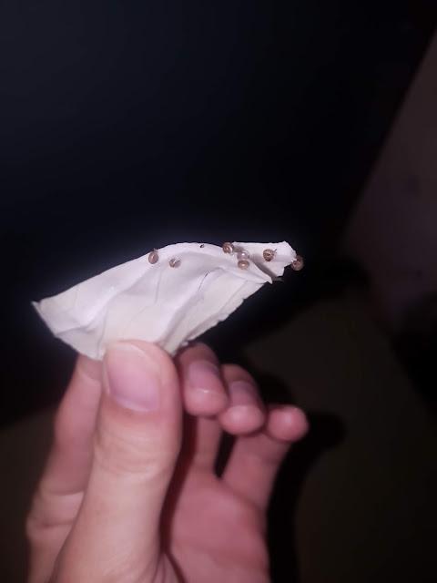 trị ốc sên hại lan