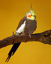 Papagaj na grani download besplatne pozadine slike za mobitele